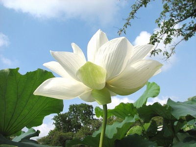 彼岸蓮の花白