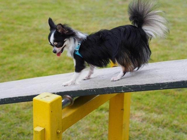 シーソーに乗る犬